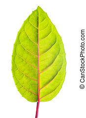green leaf with red veins, closeup