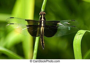 luctuosa], Libélula,  [libellula