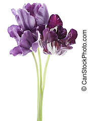 tulip - Studio Shot of Violet Colored Tulip Flowers Isolated...