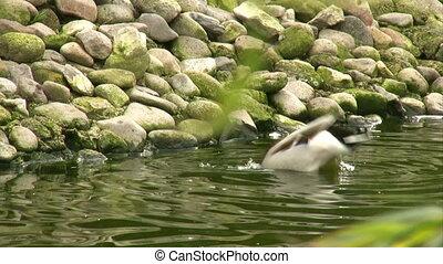 Duck diving