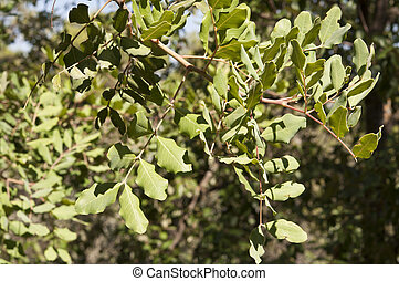 Carob tree, Ceratonia siliqua - Leaves and branches of Carob...