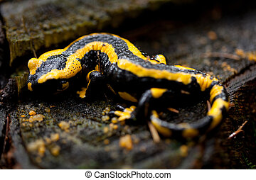 fire salamander salamandra closeup in forest outdoor detail...
