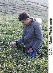 Asia Man in tea plantation
