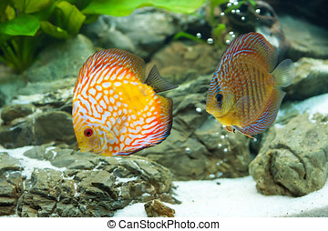 Discus - exotic aquarium fish close up