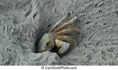 Ghost crab removing sand from his hole