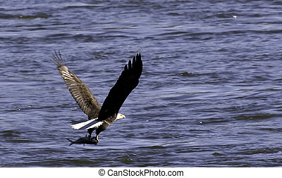 The majestic hunter - An adult bald eagle finding fresh fish...