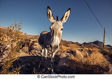 Donkey in the Mojave Desert, California, USA