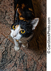 wide eyed calico cat - cute little calico cat