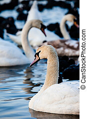 White swans on a lake, around many coots