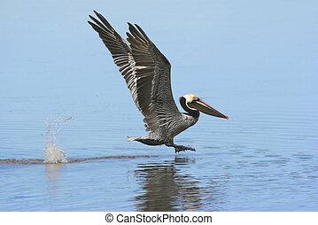 Brown Pelican (pelecanus occidentalis) taking flight in the...