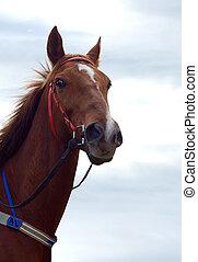 Chestnut racehorse - Chestnut Racehorse against the sky...