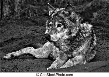 Wolf - wild animals