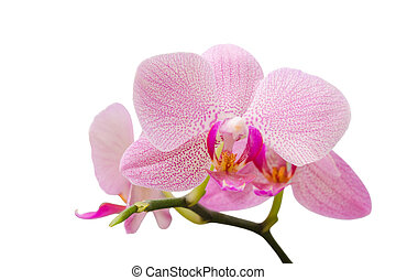 Branch of gentle pastel soft pink orchid isolated on white