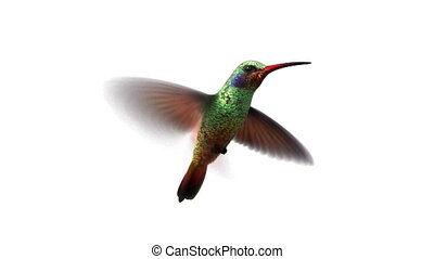 humming bird, looped 3d animation alpha-matte use curves for...