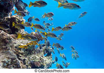 coral reef with shoal of goatfishes at the bottom of...