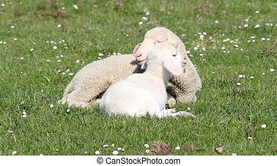 two white lambs spring season