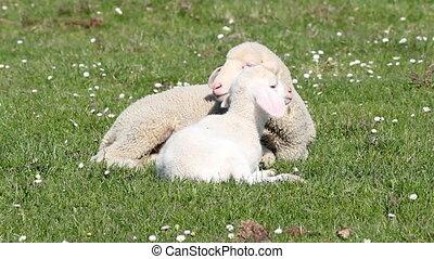 two white lambs spring season