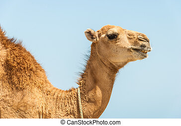camel head with neck on blue background