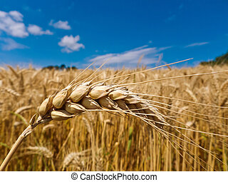 barley in a field - ears of barley in a field of grain a...