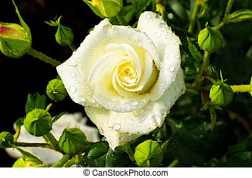 white rose on a rosebush - a white, blooming rose on a...