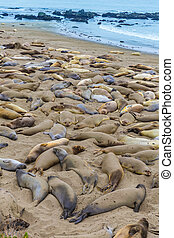 California Elephant Seals in Piedras Blancas point Big Sur -...
