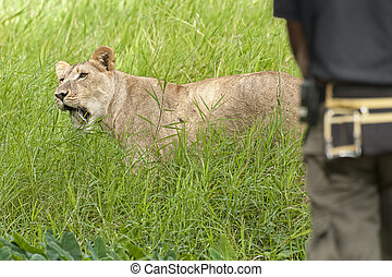 Lioness in front of park ranger - Close encounter of man...