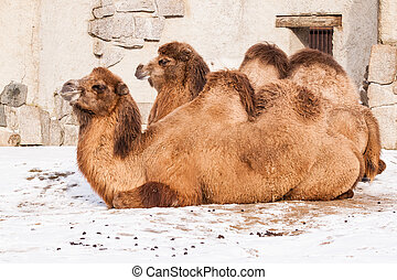 Resting Camels - Lying resting camels on snow