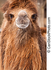 Camel portrait - Portrait of Camel in ZOO Liberec