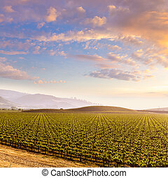 California vineyard field sunset in US - California vines...