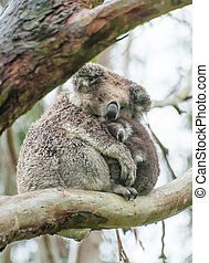 Koalas - Female wild koala bear with a baby on gum tree...