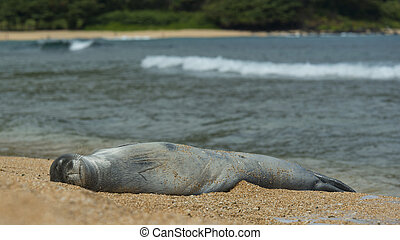 Monk Seal  - A Monk seal on Tunnels Beach in Kauai