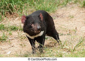 Tasmanian devil - Tasmanian Devil (Sarcophilus harrisii) is...