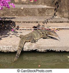 Single water-lizard is coming up on land.