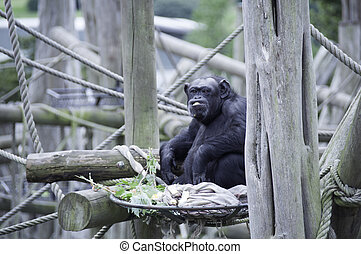 chimpanzee in captivity at Edinburgh Zoo - Feeding time for...