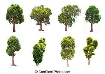 Collection Irvingia malayana tree - Collection of Irvingia...