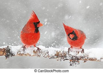 Cardinals In Snow - Male Northern Cardinals (cardinalis...