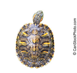 Red Eared Slider Turtle on white background - Red Eared...