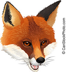 A fox - Illustration of a fox on a white background