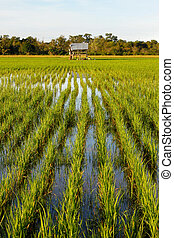Paddy field at Sabah, Borneo