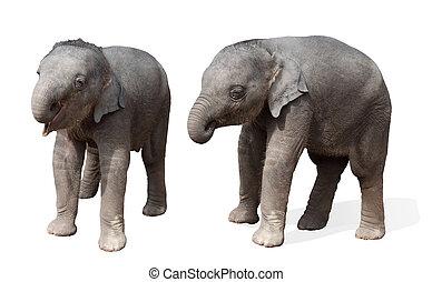 baby elephant, isolated