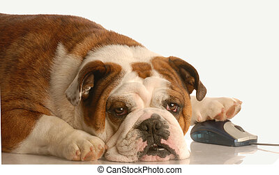 dog surfing the net - english bulldog surfing the internet...