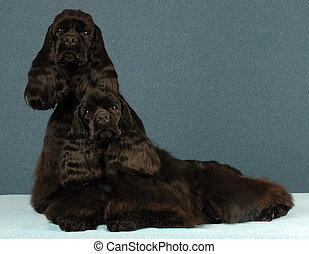 cocker spaniel littermates - littermates - two black...