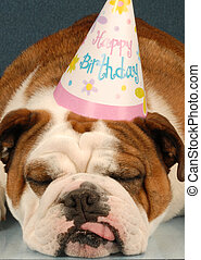 party animal - english bulldog wearing birthday party hat on...