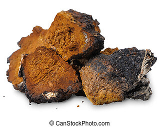 chaga,  obliquus),  -,  (inonotus, hongo, Abedul,  medicinal