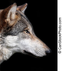 Grey Wolf Canis Lupus - Grey wolf, canis lupus, portrait...