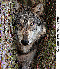 lupus, loup, gris,  Canis
