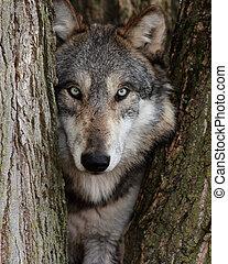gris, lobo, Canis, Lupus