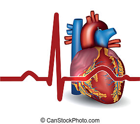 Human heart beat, isolated on white - Human heart normal...