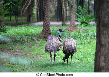Emu birds - Two flightless emu birds in the woods