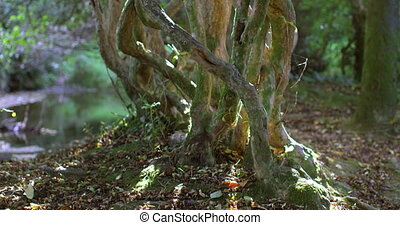 Old gnarled tree in the sunlight in a forest